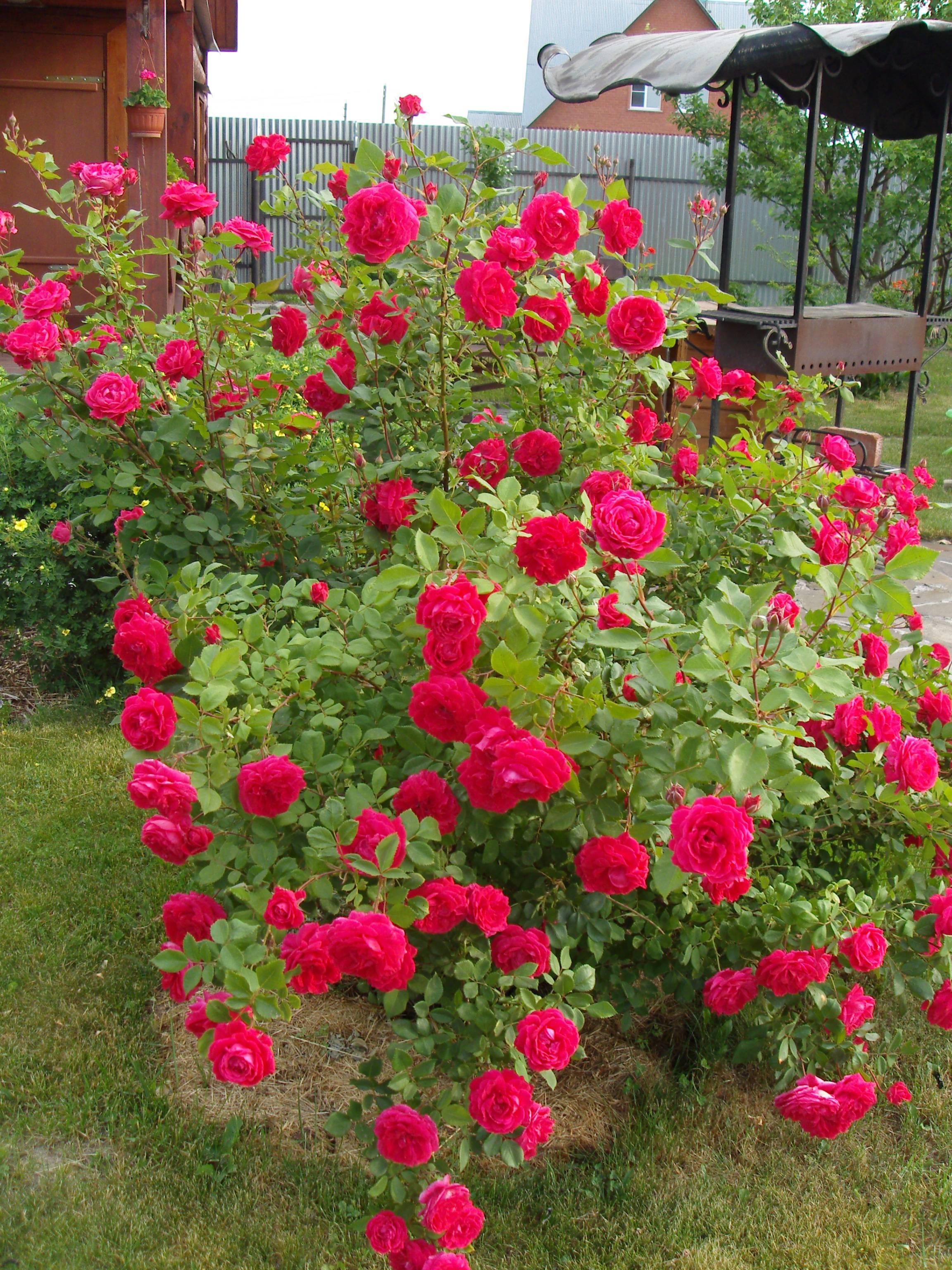 Роза гейша (geisha) — особенности выращивания