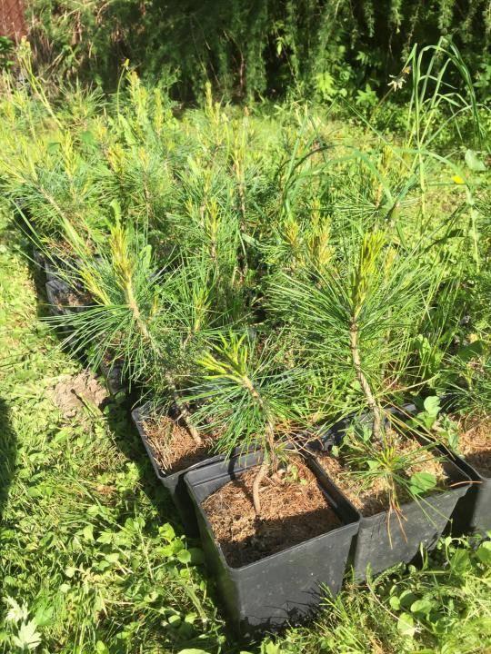 Как посадить кедр? правила посадки саженца на садовом участке. как правильно сажать его весной и ухаживать после? через какое расстояние можно сажать кедр?