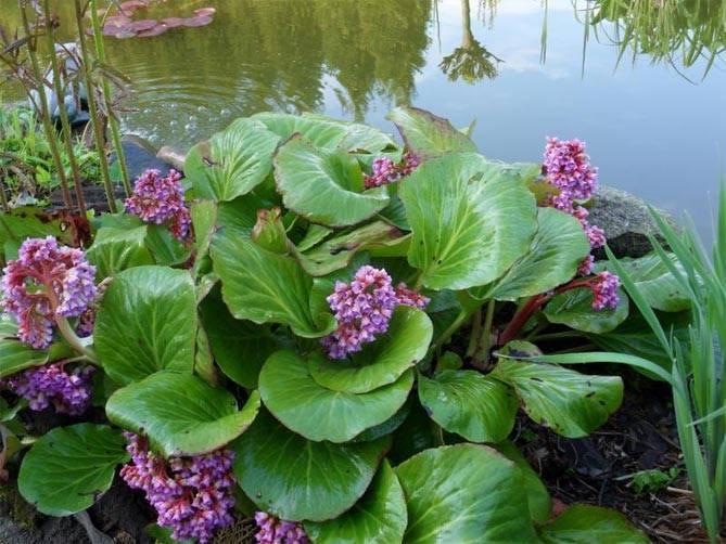 Бадан (63 фото): посадка и уход в открытом грунте, описание листьев бадана, использование в ландшафтном дизайне. когда пересаживать цветок?