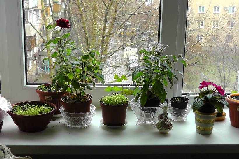 Пионы: тонкости посадки, выращивания и ухода за цветами