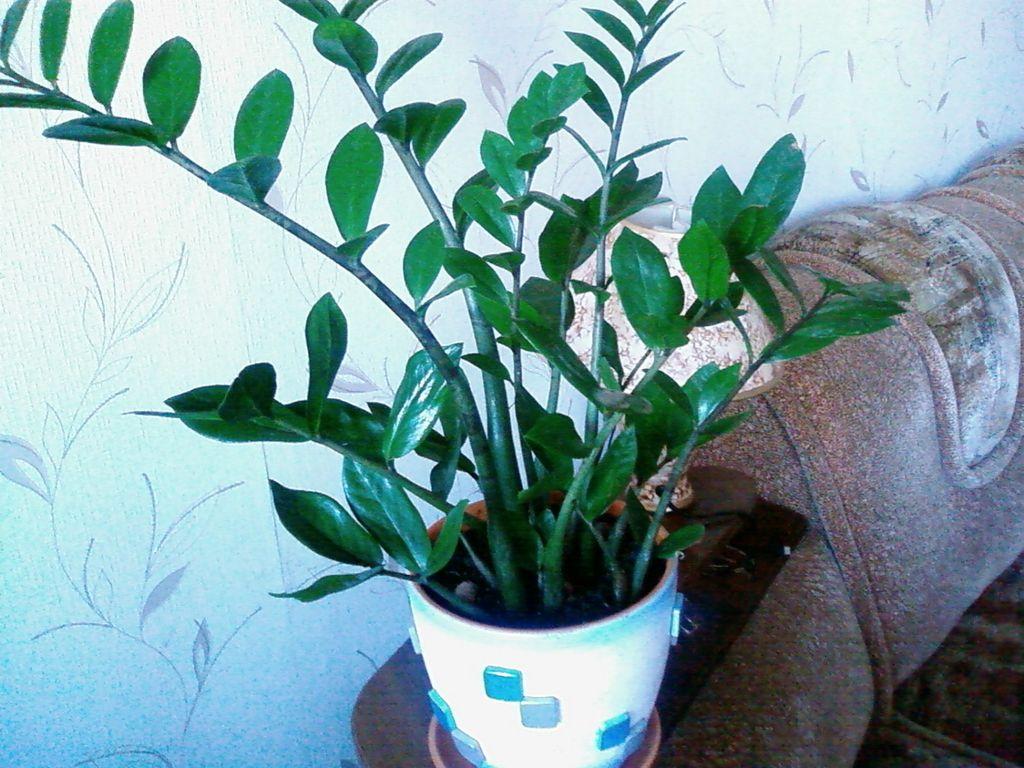 Особенности пересадки экзотического растения — замиокулькаса или «долларового дерева»