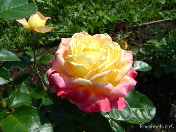 Правила и секреты выращивания двухцветной чайно-гибридной розы пульман ориент экспресс