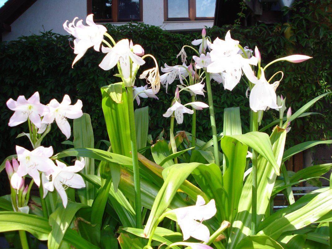 Посадка колеуса семенами, размножение цветка черенками, сорт черный дракон