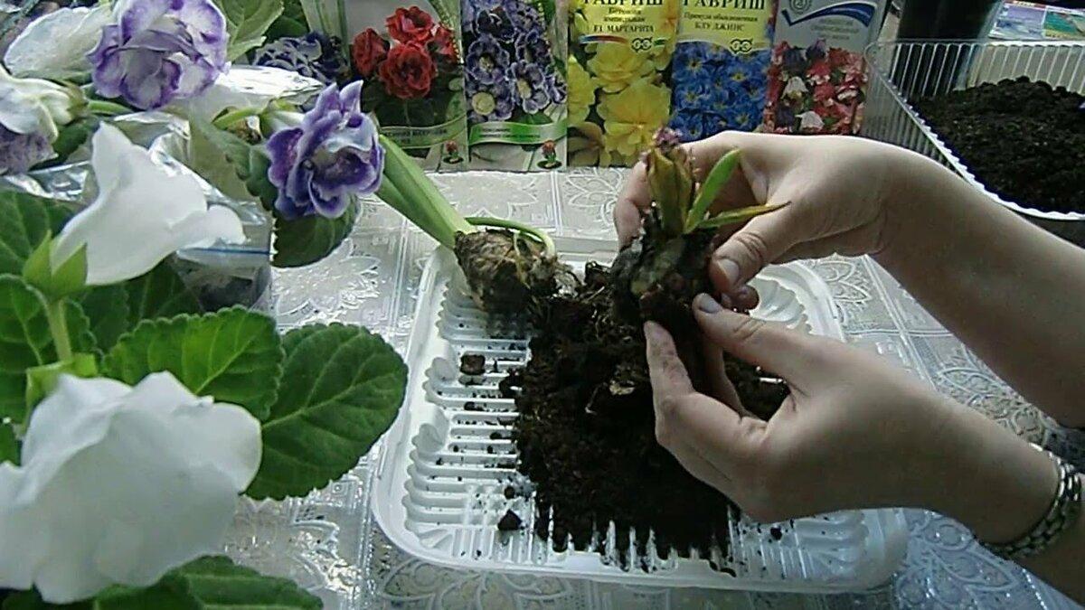 Размножение глоксинии листом: пошаговая инструкция, как правильно вырастить цветок фрагментами и целым органом в домашних условиях, а также полив водой, уход и фото