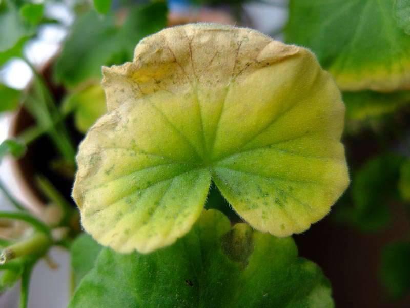 Что делать, если скручиваются листья у герани?