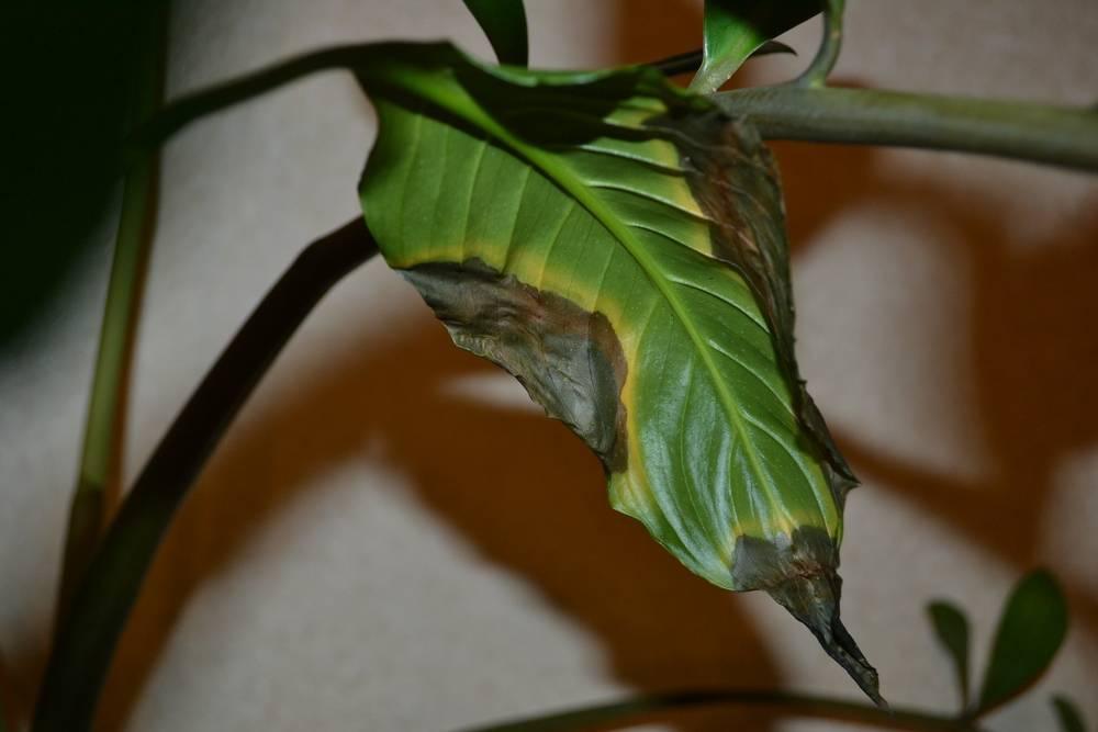 Спатифиллум. почему чернеют кончики листьев у цветка женское счастье
