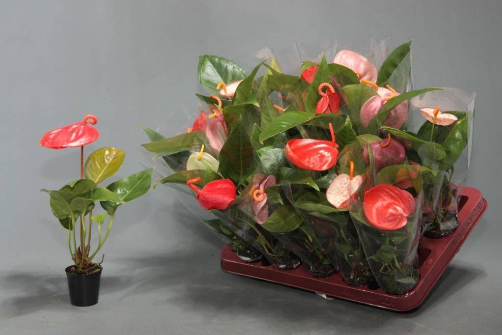 Антуриум: уход в домашних условиях и пересадка цветка шерцера и микс