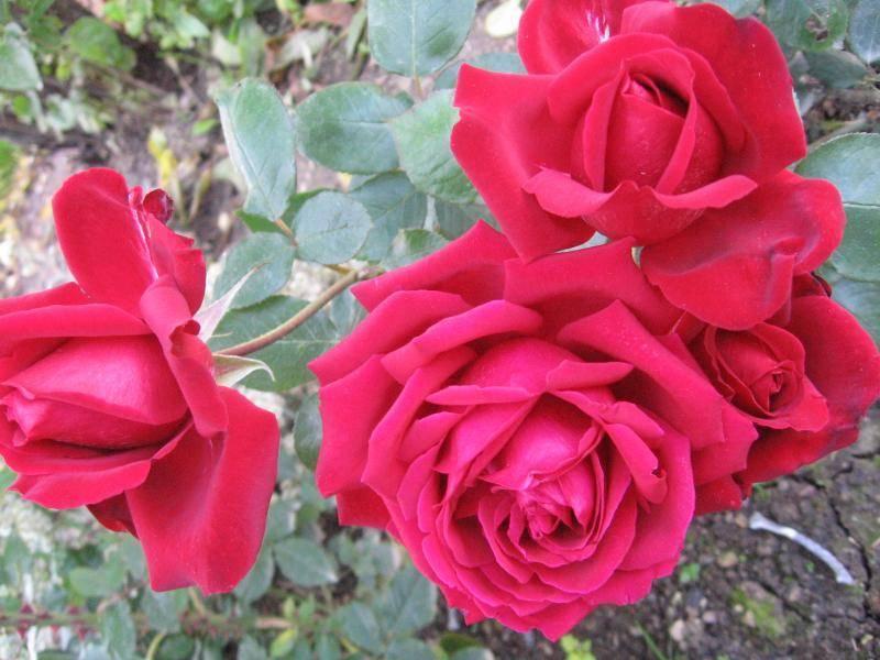 Популярные сорта непрерывно цветущих роз, которые долго держат цветок