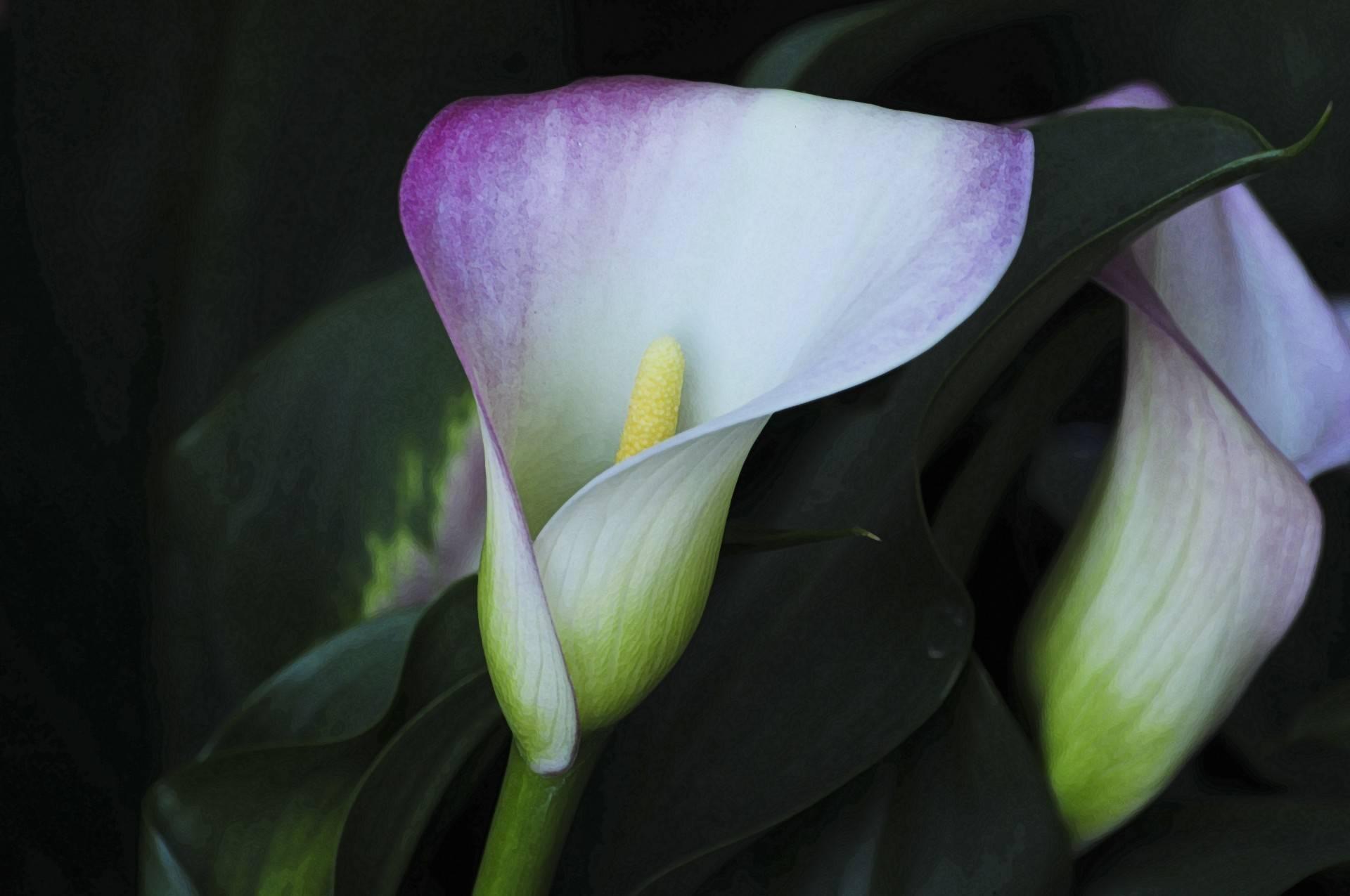 Цветы каллы – как выглядят и как называются сорта и разновидности