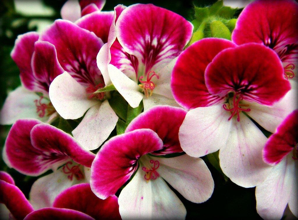 Герань комнатная: виды и сорта, фото и названия, как выглядят низкорослая, синяя и другие цветки, все об этом растении и уходе за ним, что делать, когда болеет?