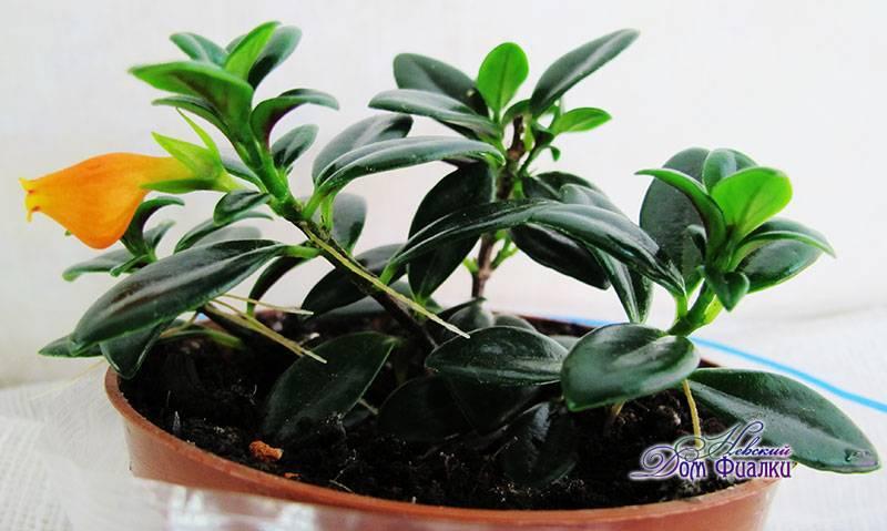 Гипоцирта. декоративное растение с яркими цветочками — «рыбками»