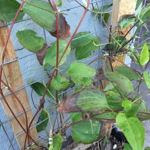 Клематис желтеет: что делать, если у клематисов сохнут нижние листья? почему на них желтые пятна? чем их подкормить? причины и правила лечения