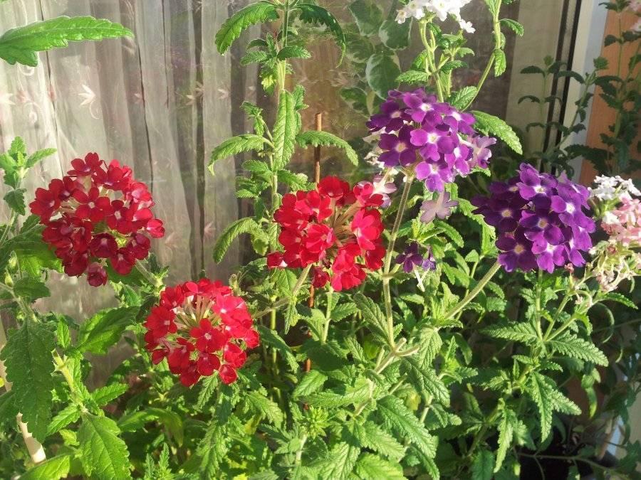 Вербена выращивание из семян в домашних условиях
