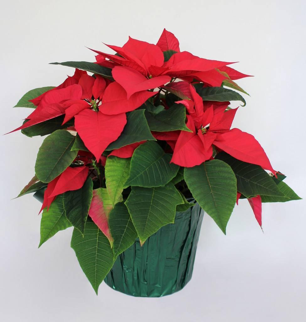 Цветок рождественская звезда: уход в домашних условиях, фото и видео