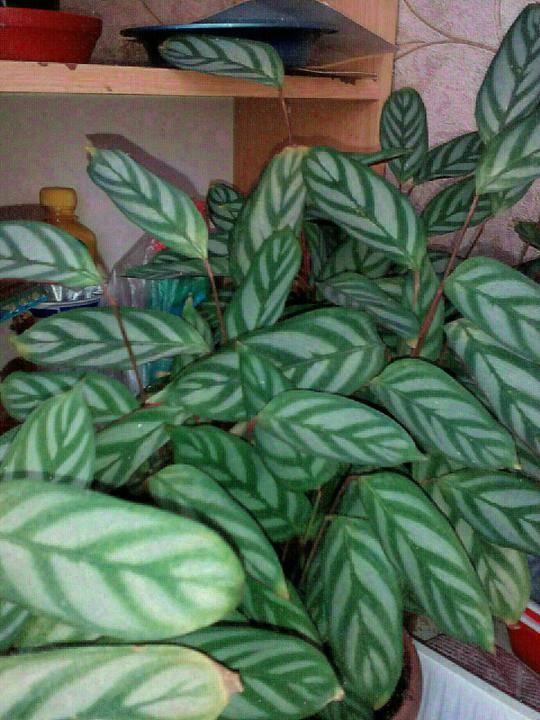 Ктенанта (53 фото): уход за цветком в домашних условиях, виды растения ктенанта оппенгейма и лубберса, сетоза и берл-маркса, цветение и размножение