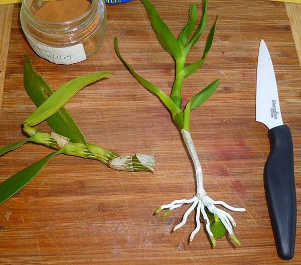 Орхидея дендробиум фаленопсис: описание, размножение и уход