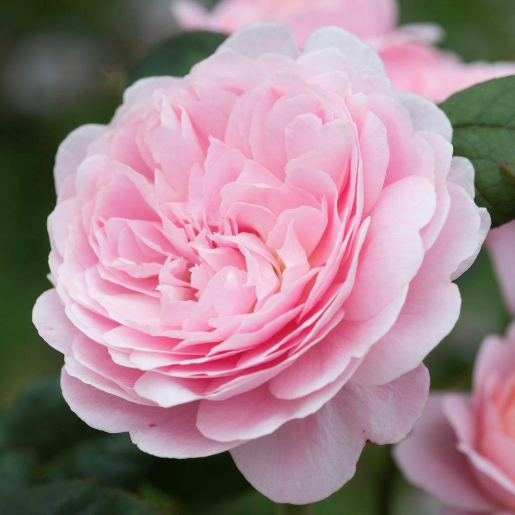 О сортах английских роз дэвида остина - описание самых хороших и ароматных