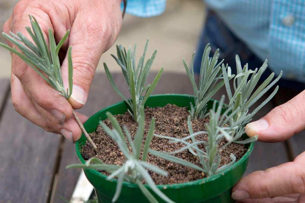 Выращивание молочая окаймленного: как посадить, ухаживать, удобрять, размножать