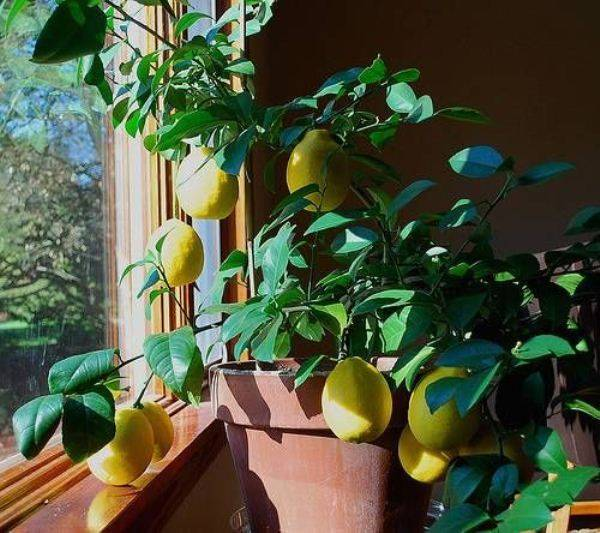 Особенности выращивания домашнего лимона: уход в домашних условиях, обрезка, фото, пересадка, а также болезни растения и польза и вред