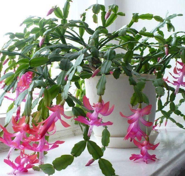 Пересадка декабриста в домашних условиях, в том числе после покупки цветка: пошагово о том, как это можно правильно сделать и советы, когда проводить процедуру