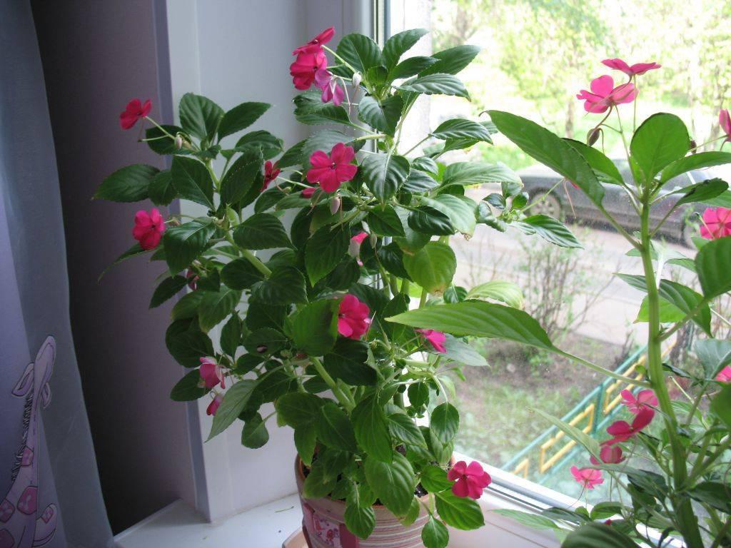 Почему не цветет бальзамин в домашних условиях — основные причины
