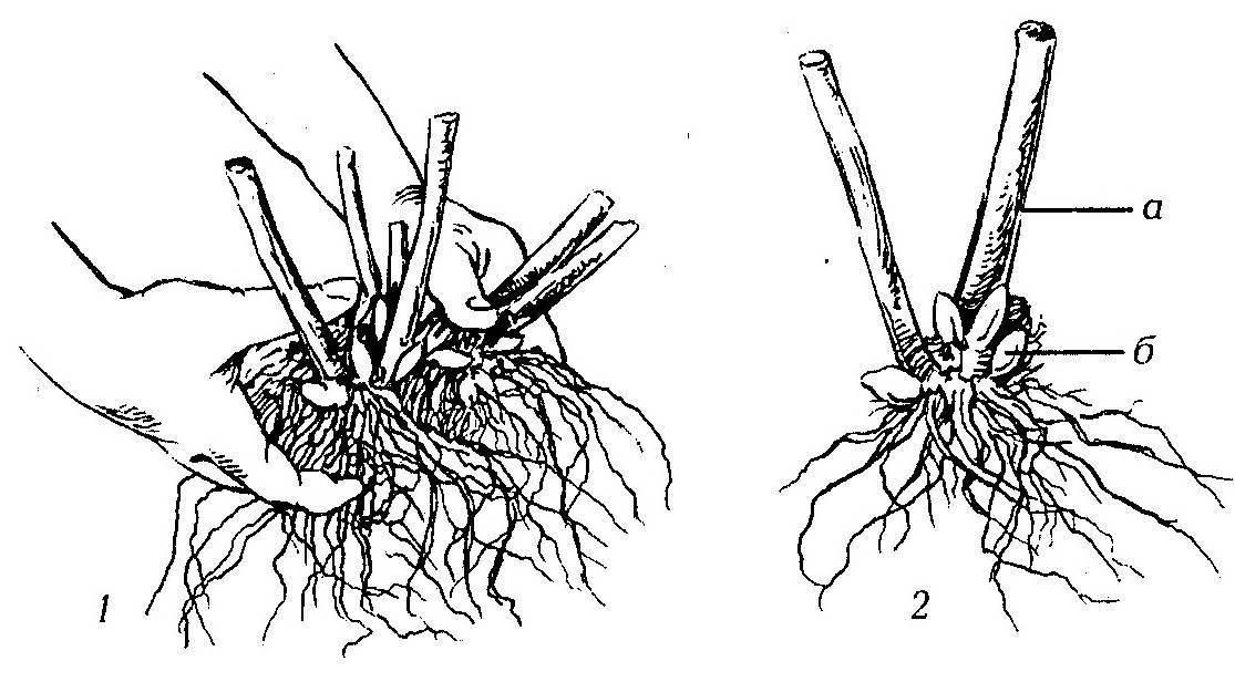 Лапчатка кустарниковая – выращивание и уход, свойства курильского чая