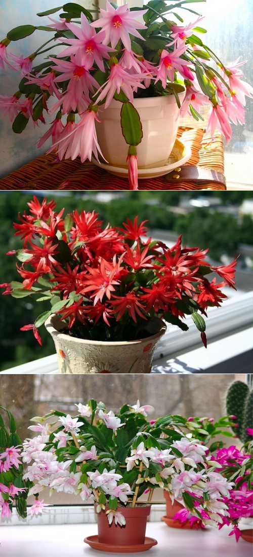 Комнатные цветы декабрист: фото, болезни и уход за домашним цветком декабрист – пересадка и посадка