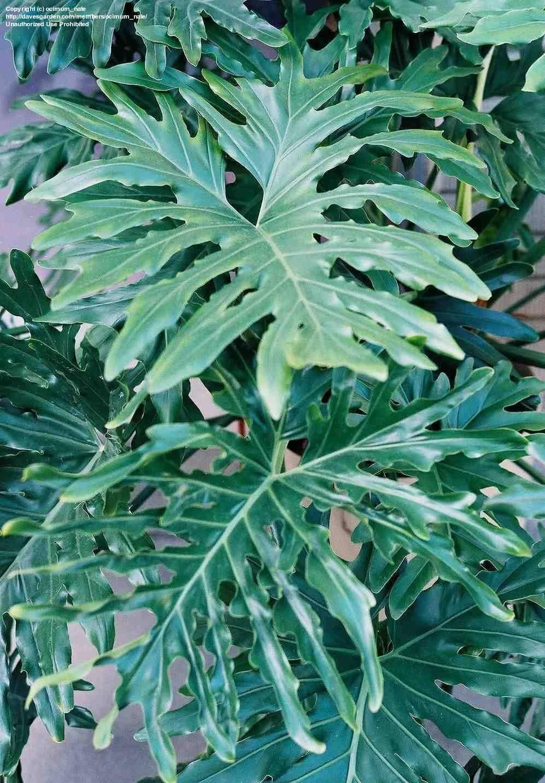 Виды и названия филодендрона: миканс, копьевидный, бородавчатый, лучистый