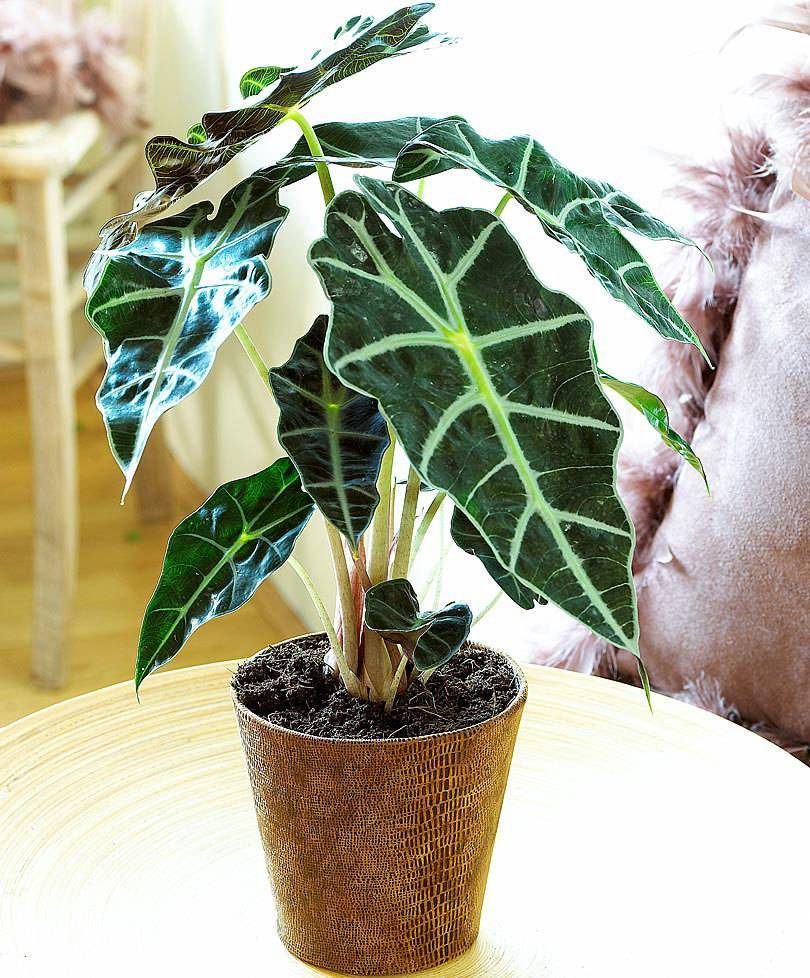 Алоказия полли (сандера): уход в домашних условиях, фото внешнего вида