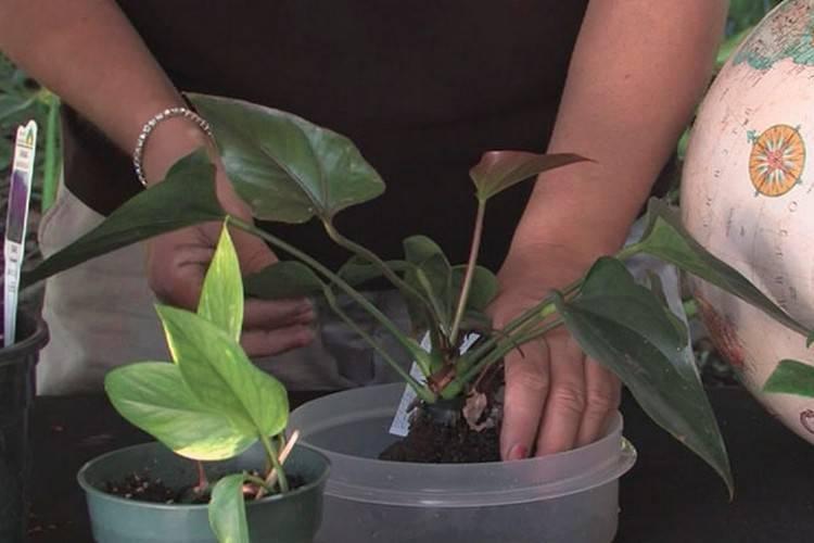 Диффенбахия - выращивание и уход в домашних условиях