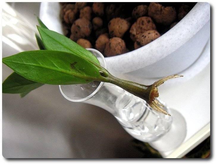 Уход за замиокулькасом или долларовым деревом: пересадка и размножение