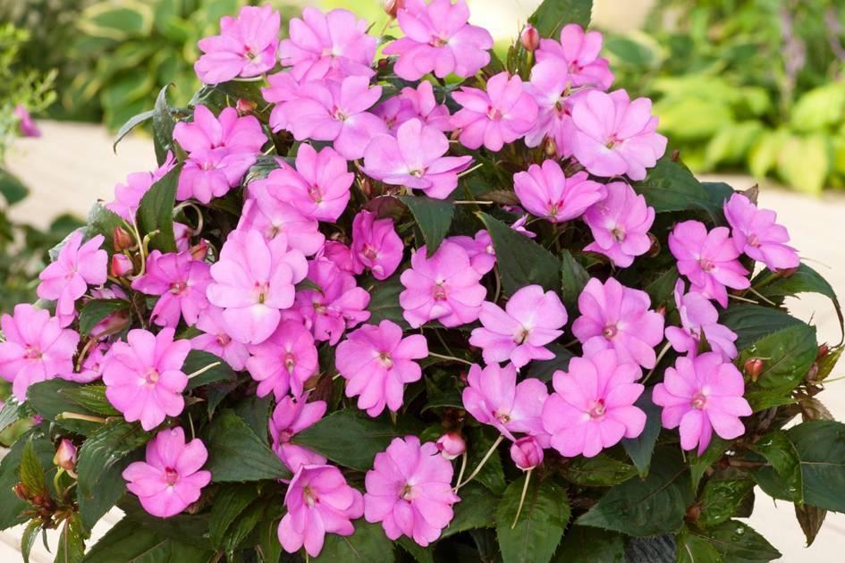 Выращивание бальзамина уоллера из семян в домашних условиях и уход, когда цветет