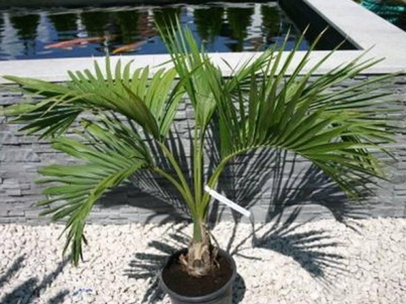 Ховея: фото пальмы, уход в домашних условиях