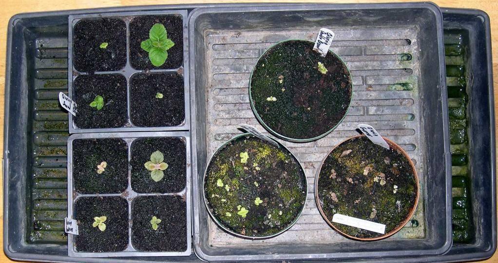 Как вырастить глоксинию семенами в домашних условиях: когда сажают, уход