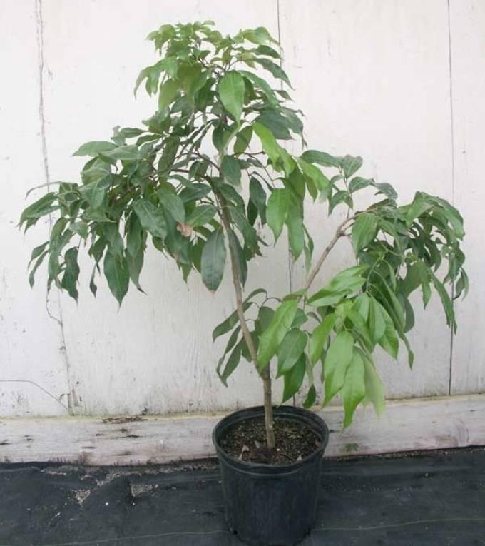 Посадка и выращивание личи (китайской сливы) из косточки