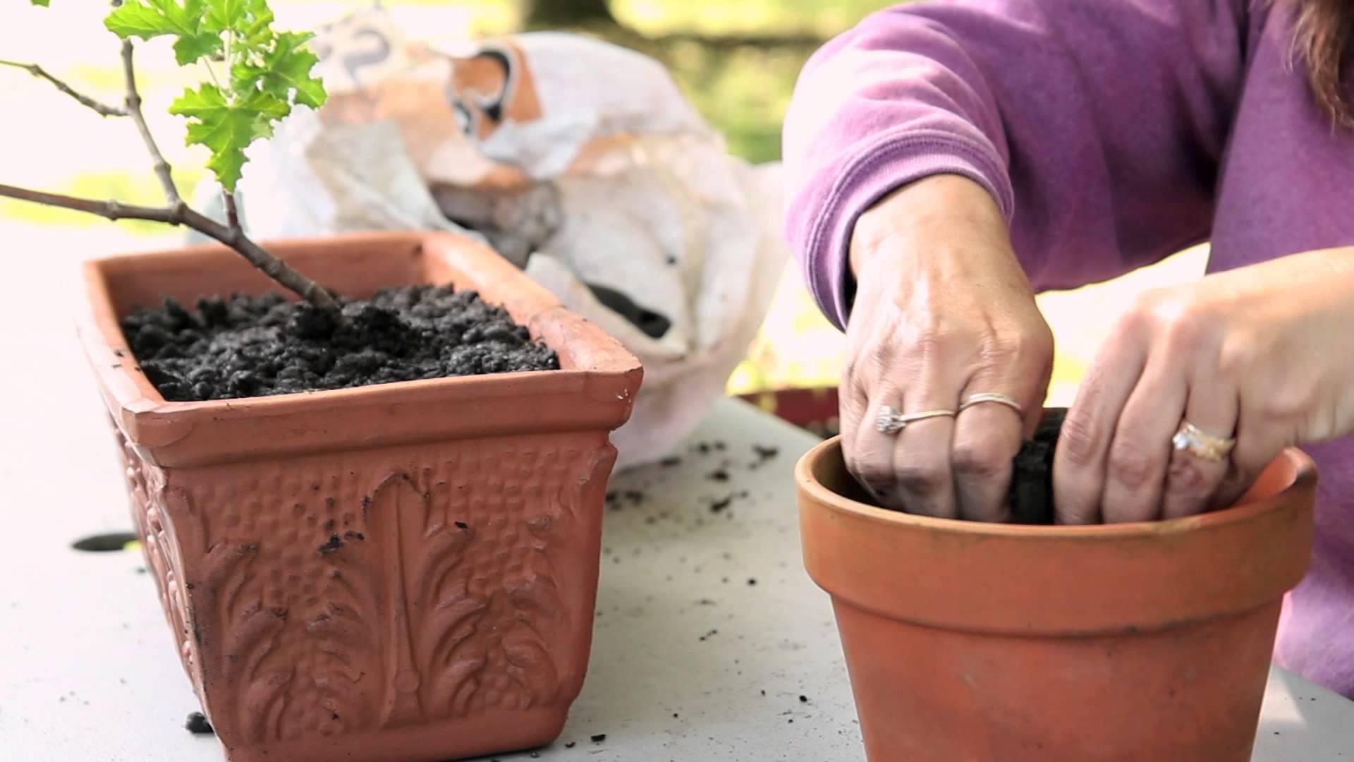 Можно ли пересаживать цветущую герань и когда это лучше делать, во время образования бутонов или после покупки, а также как правильно ухаживать?