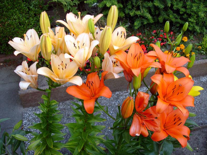 Все о мимулюсе: выращивание цветка из семян, посадка и уход в открытом грунте