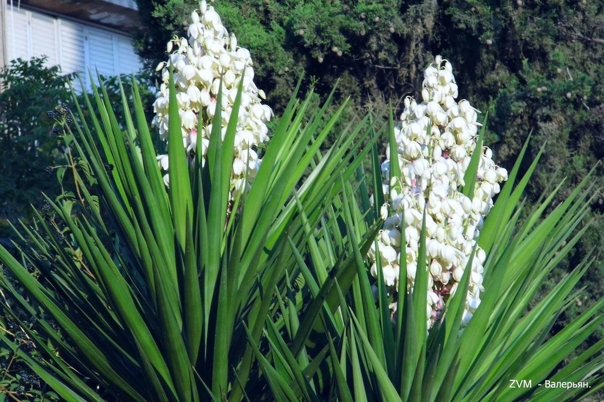 Полутораметровые соцветия и вечнозеленая листва – как садовой разновидности юкки живётся в россии?