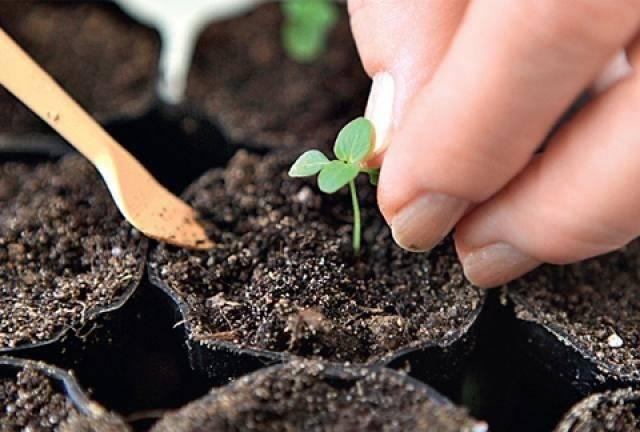 Как выращивать люпины из семян?