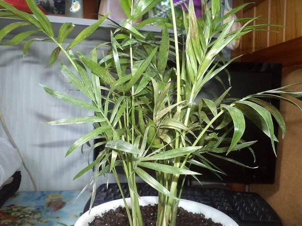 Болезни пальм: способы борьбы и профилактика . советы для начинающих