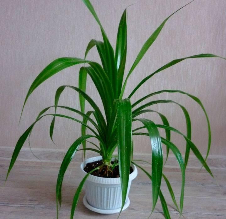 Панданус: уход в домашних условиях. все о комнатных растениях - фатерра