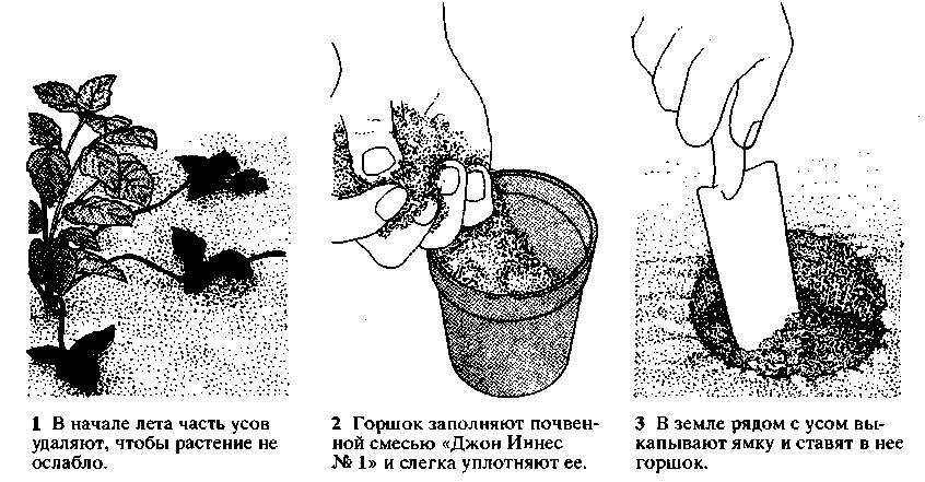 Рододендрон даурский дальневосточный