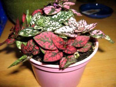 Цветы гипоэстес: фото, уход и размножение в домашних условиях