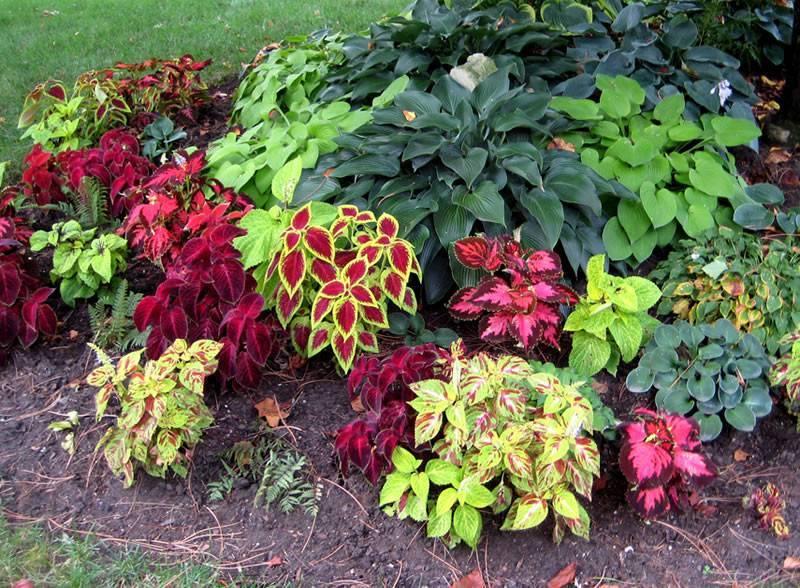 Эффектные цветы для дачи: посадка гибискуса в открытый грунт и секреты ухода за растением