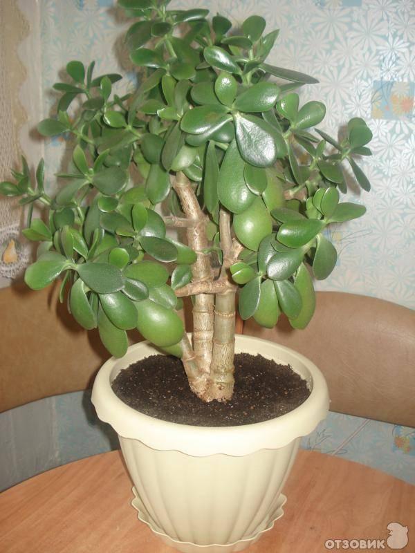 Денежное дерево: почему нельзя держать дома, и можно ли его выбрасывать
