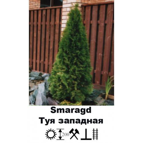 Туя западная смарагд — дерево жизни на участке: посадка, уход и использование в дизайне