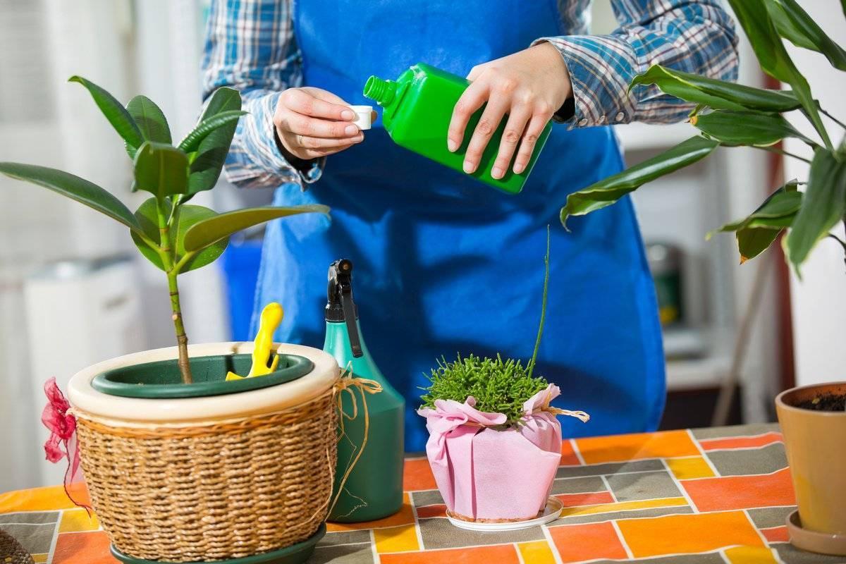 Правильный полив драцены в домашних условиях: как часто делать и какой водой