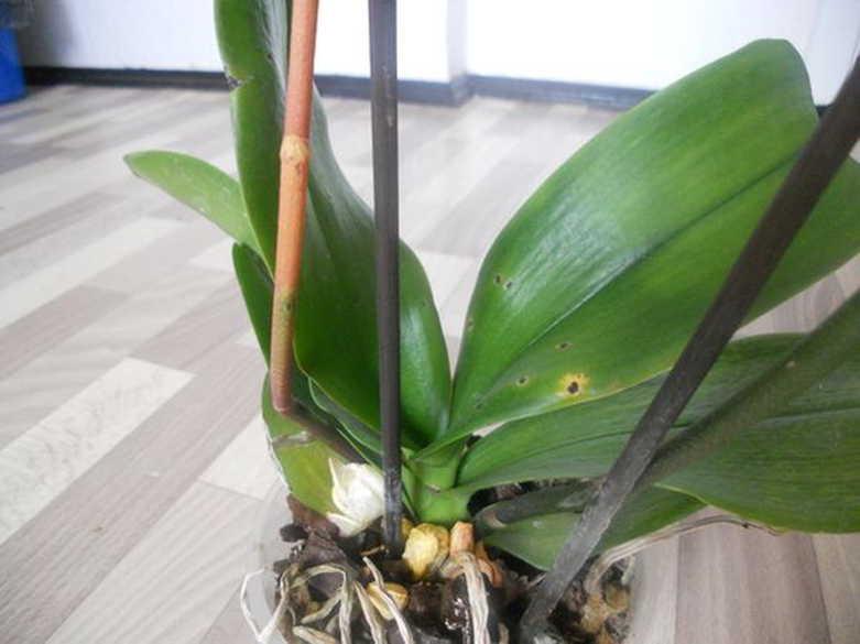 Цветонос у орхидеи: причины заболеваний и методы борьбы с ними