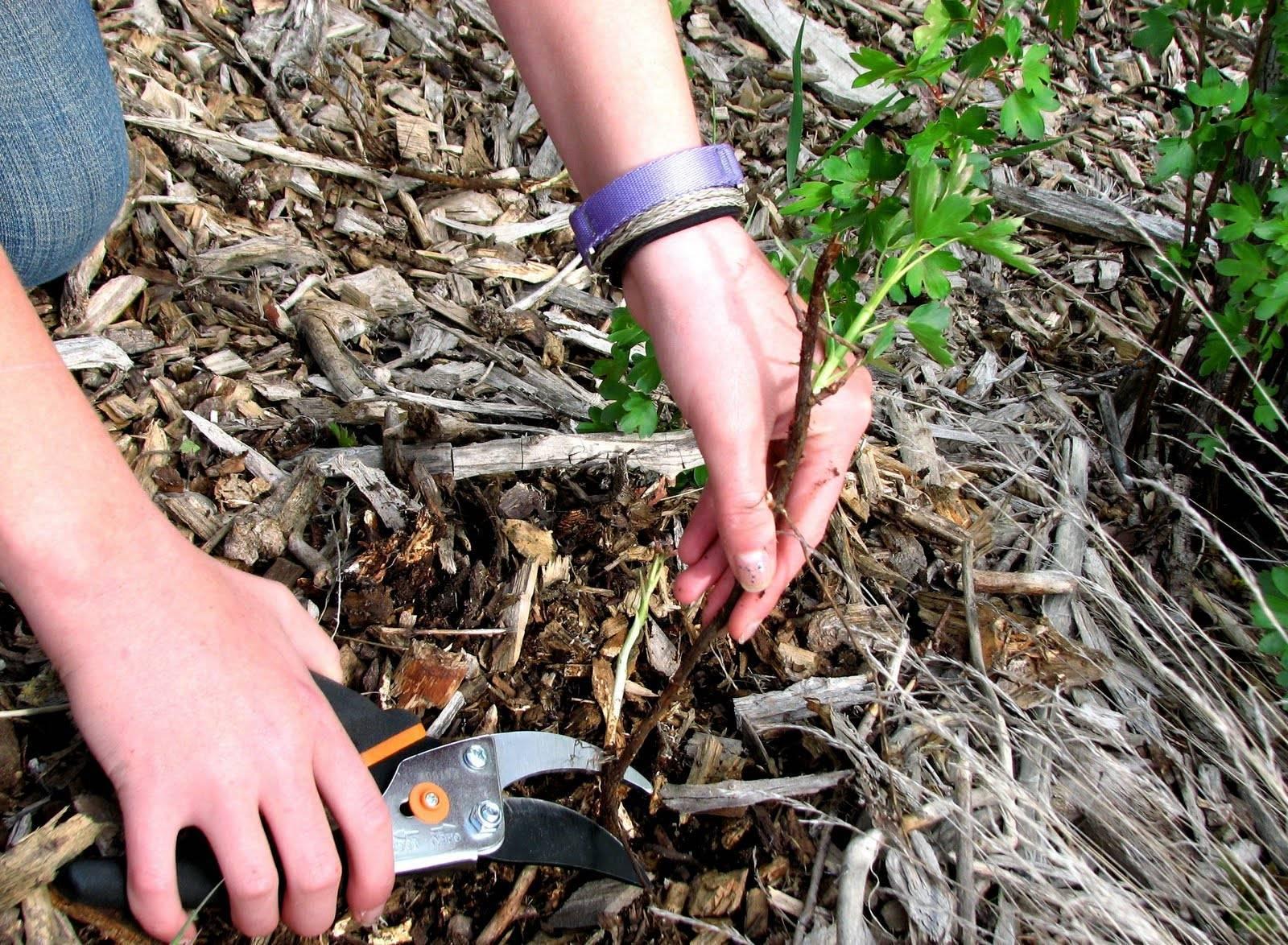 Особенности выращивания и ухода джункуса в домашних условиях