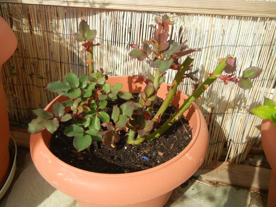 Как правильно обрезать кусты роз с приходом весны?